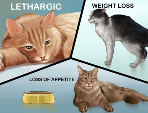 Pancreatitis and Cats